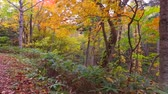 еще : Landscape of autumn leaves of primeval forest that was captured by the camera stabilizer  6  October 18, 2015 to the shooting in JapanAutumn scenery of the park of primeval forest of undeveloped.