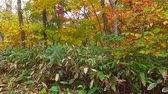 еще : Landscape of autumn leaves of primeval forest that was captured by the camera stabilizer  5  October 18, 2015 to the shooting in JapanAutumn scenery of the park of primeval forest of undeveloped. Стоковые видеозаписи