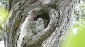 babies : Brother in front of the owl to leave the nest