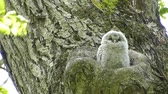 working parents : Baby owl newborn showed a face from the sinus. Landscape of Japans forest park of spring.