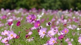 castiçal : Fluttering in the wind of autumn Cosmos flower