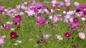 rest : Fluttering in the wind of autumn Cosmos