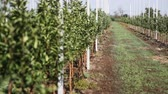 young : A row of young apple trees Stock Footage
