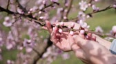 cherrytree : cherry blossom petals in a girls palm