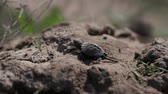 suckling : Little tortoise is walking on the ground Stock Footage