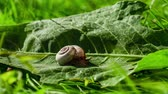 meztelen csiga : Snail on a green leaf. Time Lapse Video. Stock mozgókép