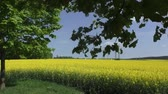 agronomists : Yellow oilseed rape field under the blue sky with sun