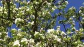 浪漫 : Branch of apple tree with many flowers over blue sky 影像素材
