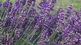 provence : Lavender flower on the field. Beautiful lavender flowers in a garden close up view