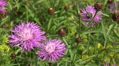 bloom : A thistle flower on a meadow