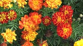 крупные планы : Tagetes flower in the garden. Marigold Tagetes patula flowers. Beautiful group of yellow and red flowers Tagetes Patula.