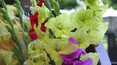 bloom : Bouquet with colorful gladiolus. Beautiful gladiolus flowers.