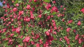vespa : Bumblebee flying to a flowering currant (Ribes sanguineum)