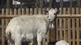 isolado no branco : Group goats (Capra hircus), animal group Stock Footage