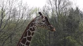 высокий : South African giraffe walking on safari park Стоковые видеозаписи