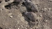 guard : Group meercats (Suricata suricatta) fighting. Meerkats playing in the sand.