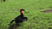 czerwone tło : The southern ground hornbill bird, Latin name Bucorvus leadbeateri. Wideo