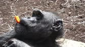 uganda : A chimpanzee (Pan Troglodytes) eating a vegetable. Portrait of the chimpanzee. Stock Footage