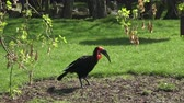 kırmızı bir arka plan : The southern ground hornbill bird, Latin name Bucorvus leadbeateri. Stok Video