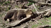 predador : Brown bear sleeping. Bear sleeping on top of a hill in the woods. (ursus arctos)