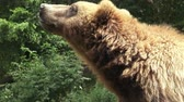 nést : Portrait of brown bear (Ursus arctos beringianus). Kamchatka brown bear.