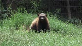 kahverengi : Wolverine, Gulo gulo, sitting on a meadow also called glutton, carcajou, skunk bear, or quickhatch