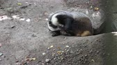 pençeleri : Badger near the hole. European badger (Meles meles) Stok Video