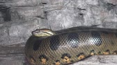 yılan : Green anaconda (Eunectes murinus). Big anaconda.
