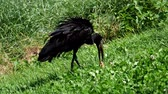 gaga : Black Stork - Ciconia nigra looking for food Stok Video