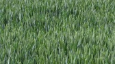 gabonafélék : Field with cereals. Field of young green wheat. Spring agriculture.