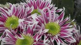 krizantem : Flowers, flowers chrysanthemum in the garden Stok Video