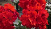 tomb : Red flower. Flowers on the grave. (Pelargonium grandiflorum) Stock Footage