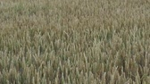 рожь : Field with cereals. Field of young green wheat. Spring agriculture.