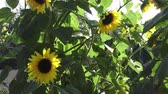 yellow flower : Close-up of a brilliant yellow sunflower hanging down in the sunlight in a garden Stock Footage