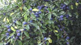 ameixa : Prunus spinosa growing on a tree branch. Close-up of blue berries of blackthorn (prunus spinosa).