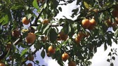 ameixa : Yellow mirabelle plums. Ripe mirabelle on tree. Organic fruit before harvest in summer. (Prunus domestica syriaca) Stock Footage