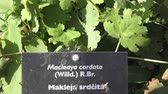 herbaceous : Spices and Herbs. Macleaya cordata in summer, ornamental garden plant also known as plume poppy. Hand written sign for Macleaya cordata in a garden.