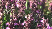 officinalis : Purple flowers of salvia grow in the field. Flowering Salvia officinalis. Spices and Herbs. Stock Footage