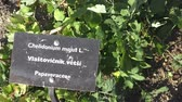 homeopatia : Chelidonium majus is a herbaceous flowering plant. Medicinal plant. Spices and Herbs.