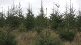 toboztermő fa : Young Trees in the Nursery for Growing Spruce for Christmas. Young forest grow. Plantation young trees.