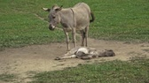 śmieszne : Gray cute baby donkey and mother. Young baby donkey sleeping.