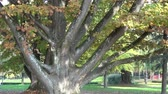 big leaf : Big tree in the park in autumn Stock Footage