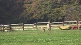 miniatura : Donkeys farm. Donkey in the field on the pasture. Family of donkeys. Stock Footage