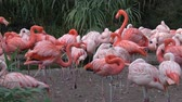естественно : Flamingo (Phoenicopterus chilensis). Flamingos or flamingoes.