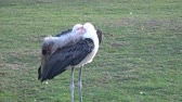 естественно : Marabou Stork (Leptoptilos crumeniferus) is a large wading bird in the family Ciconiidae. Стоковые видеозаписи