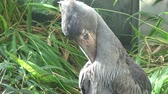 естественно : A shoebill (Balaeniceps rex) stork standing surrounded by plants. Exotic bird.