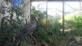 cegonha : A shoebill (Balaeniceps rex) stork standing surrounded by plants. Exotic bird.