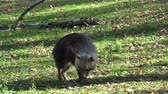 hyaena : Brown Hyena (Parahyaena brunnea) walking