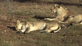 leeuwen : Two Lioness lying down in the grass. Two lions resting after their afternoon siesta.