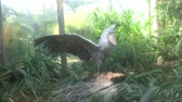 cegonha : A shoebill (Balaeniceps rex) stork standing surrounded by plants. Funny exotic bird. Vídeos